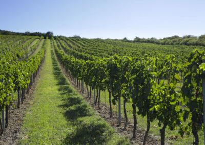 prémiová vinice - Goldhamer