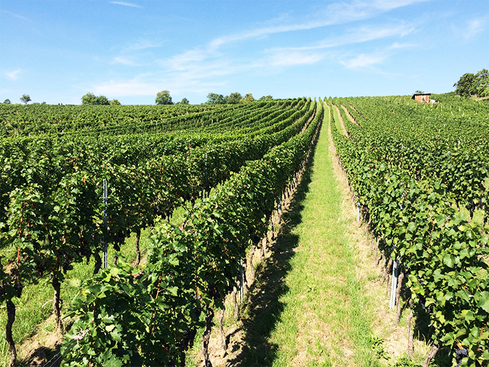 prémiová vinice Stará hora