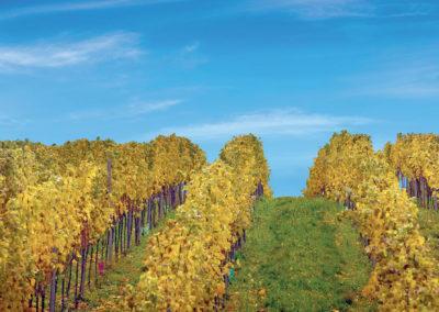 prémiová vinice - Kraví hora